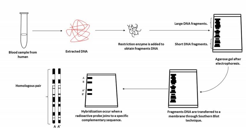 2017020412 revista bionatura schematic illustration of procedure in dna fingerprinting ccuart Images